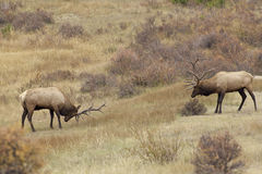 Bull Elk Face Off Stock Photos