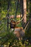 Bull elk facing Stock Image