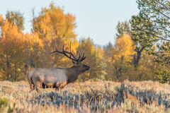 Bull Elk in Fall Stock Image