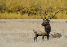 Bull elk in fall colors. A bull elk stands in a meadow in front of golden aspen trees.  Rocky Mountain national park, Colorado, during the annual elk rut Royalty Free Stock Photos