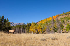 Bull Elk in Fall Landscape Stock Images