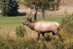 Bull Elk in the Fall rut Stock Photo