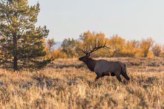 Bull Elk in Fall Royalty Free Stock Image