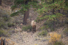 Bull Elk in the Fall Rut Royalty Free Stock Photography