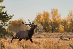 Bull Elk in Fall Rut Royalty Free Stock Photo
