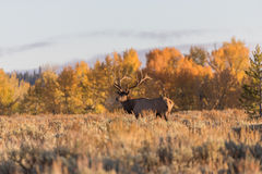 Bull Elk in Fall Royalty Free Stock Photography
