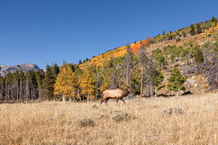 Bull Elk in Fall Stock Photos