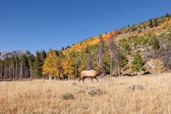 Bull Elk in Fall Stock Photos
