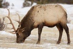 Bull Elk Feeding. Lone bull elk feeding on the dry grass in the snow.  Rocky Mountain National Park, Colorado Royalty Free Stock Photo
