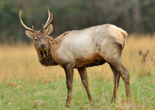 Bull Elk in field Stock Images