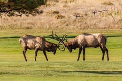 Bull Elk Fight for Dominance Royalty Free Stock Photos