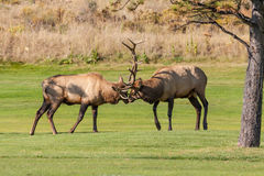 Bull Elk in Fight Royalty Free Stock Photography
