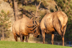 Bull Elk Fighting for Dominance Royalty Free Stock Photography