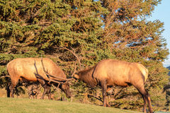 Bull Elk Fighting Royalty Free Stock Photos