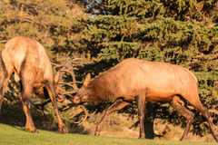 Bull Elk Fighting Royalty Free Stock Image