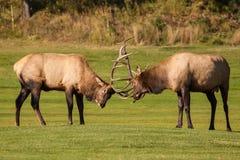 Bull Elk Fighting Royalty Free Stock Photo