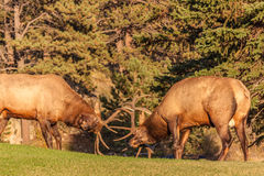 Bull Elk Fighting Stock Photography