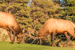 Bull Elk Fighting Stock Photography