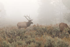 Bull Elk in Fog in the Rut Royalty Free Stock Image