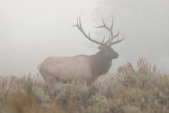 Bull Elk in Fog Royalty Free Stock Image