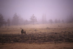 Bull Elk in Foggy Meadow Royalty Free Stock Image