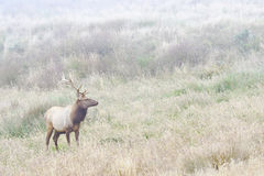 Bull Elk in Foggy Meadow Stock Photography