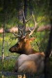 Bull elk with it`s horn Stock Photos