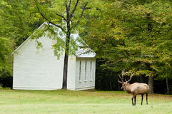 A bull elk with georgous antlers stays alert. royalty free stock images