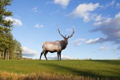 Bull Elk on Grassy Hillside Stock Photos
