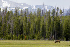 Bull Elk grazes a field below pines and snow capped mountains. Stock Images