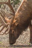 Bull Elk Grazing Close Up Stock Photos