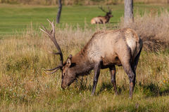 Bull Elk Grazing Stock Photo