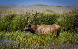 Bull Elk Grazing for Food Stock Images