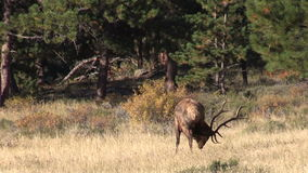 Bull Elk Grazing stock footage