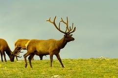 Bull elk grazing Royalty Free Stock Image