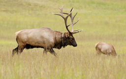 Bull elk guarding his harem Royalty Free Stock Images