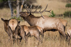Bull elk with harem Royalty Free Stock Image