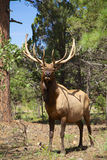 Bull Elk Head On Stock Photography