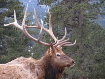 Bull Elk royalty free stock photo