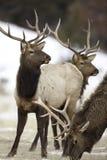 Bull Elk Herd. Herd of bull elk during Winter at the Rocky Mountain National Park Stock Photography