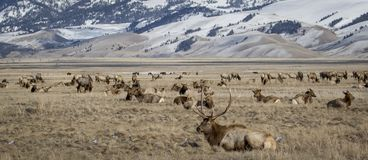 Bull elk and elk herd in national elk refuge in yellow grassland. Bull elk with antlers resting in front of a feeding elk herd in jackson hole with fields and royalty free stock photography