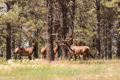 Bull Elk Herd in Velvet Royalty Free Stock Images