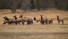 Bull Elk and His Harem. In Colorado Stock Photography