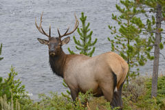 Bull Elk II. Bull elk in Yellowstone National Park on the lookout in the Madison river Stock Photography