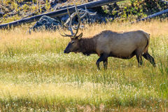 Bull Elk Stock Photography