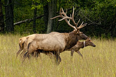 A bull elk keeping track of his female. Royalty Free Stock Images