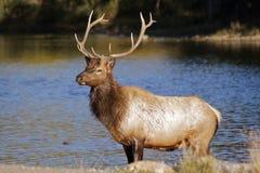 Bull Elk in Lake. A nice bull elk on the edge of a lake Royalty Free Stock Photo