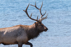 Bull Elk in Lake Stock Photo