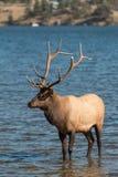 Bull Elk in Lake Stock Images