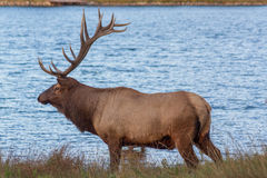 Bull Elk by a Lake Stock Photos